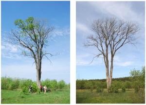 Рисунок 13. «Вязóк» в 2012г. (слева) и в 2013г. (справа)_resize